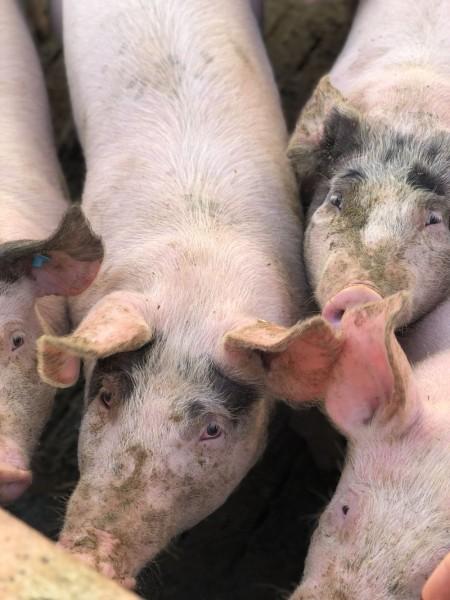 Schweine_Innenstall